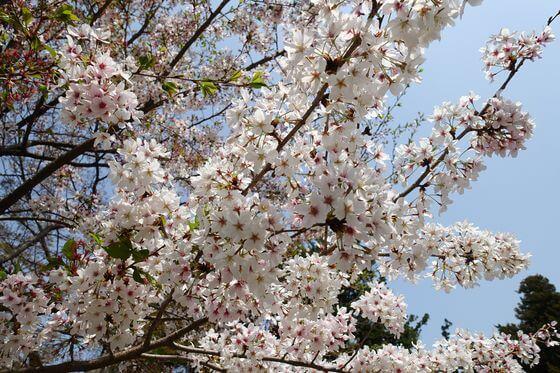 円覚寺 仏殿 桜