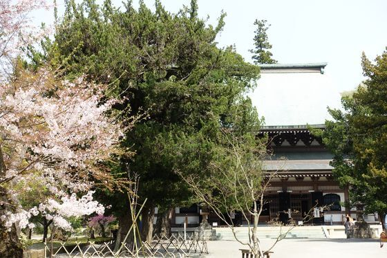 円覚寺 山門 桜