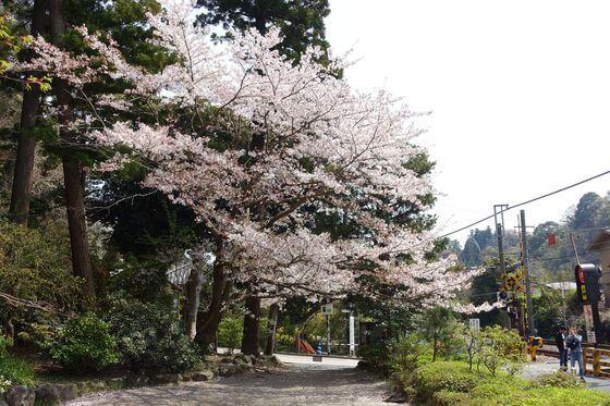 鎌倉 円覚寺 桜