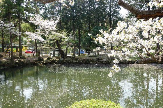 円覚寺 白鷺池 桜