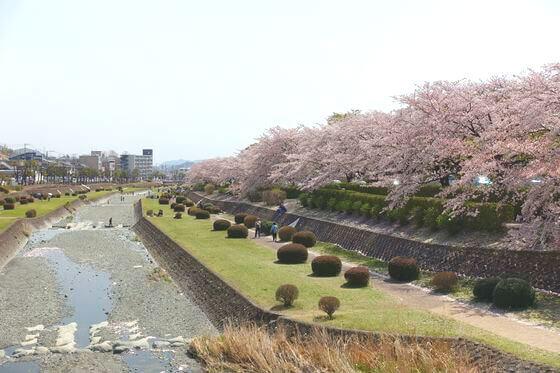 秦野カルチャーパーク 桜