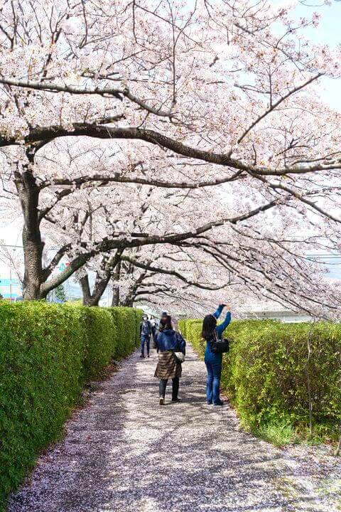秦野カルチャーパーク 桜並木
