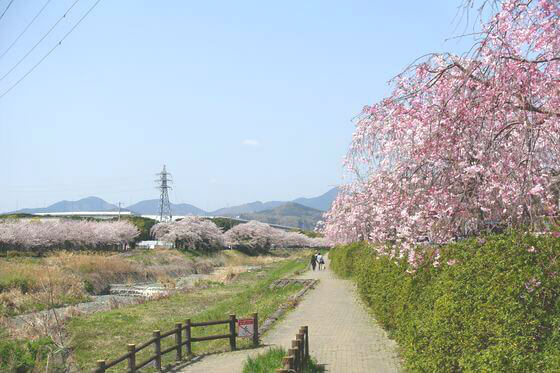 秦野カルチャーパーク 枝垂れ桜