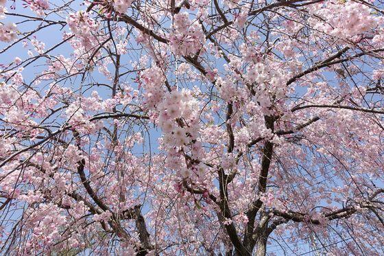 秦野カルチャーパーク しだれ桜