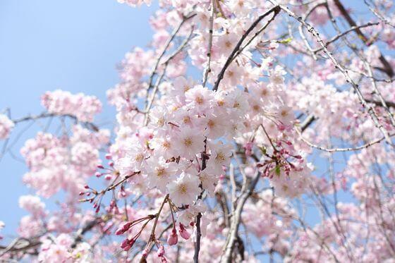 秦野カルチャーパーク 桜 開花状況