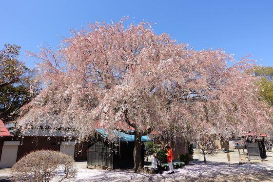 放光寺 しだれ桜