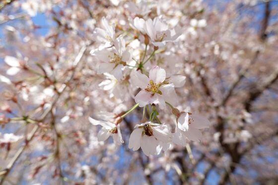 北本市 放光寺 枝垂れ桜