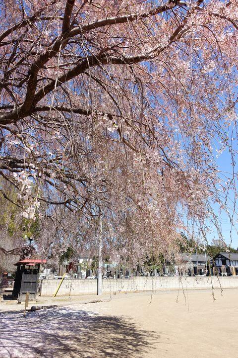 北本市 放光寺 しだれ桜