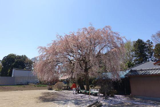 放光寺 北本 枝垂れ桜