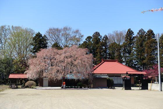 放光寺 枝垂れ桜