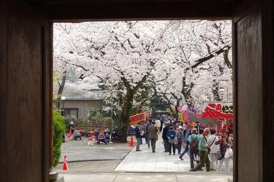 法明寺 鬼子母神 桜