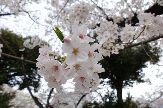法明寺 桜 開花状況