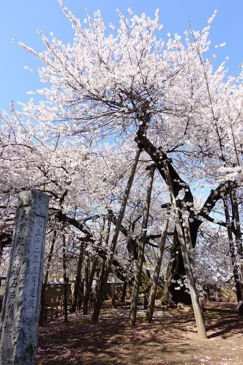 日本五大桜 北本