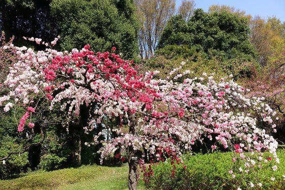 花桃 神代植物公園