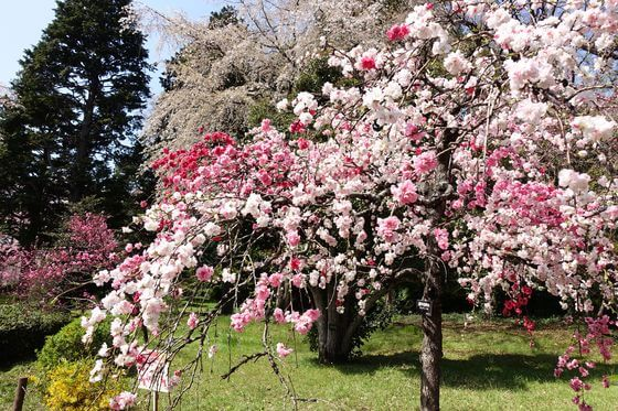 神代植物公園 花桃