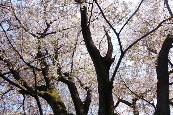 神代植物公園 山桜