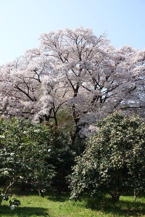 神代植物公園 ヤマザクラ