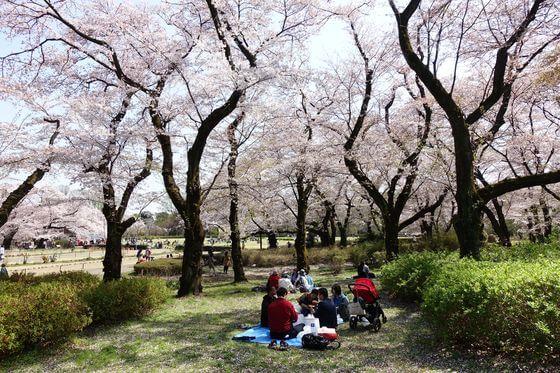 神代植物公園 築山 桜