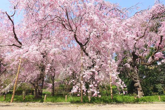 神代植物公園 桜 見頃