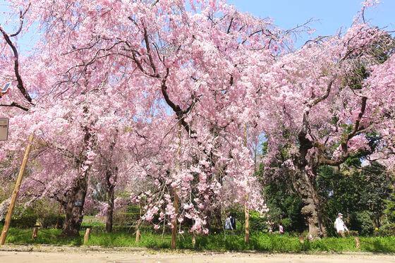 神代植物公園 枝垂れ桜