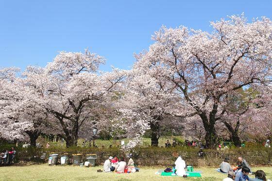 神代植物公園 桜