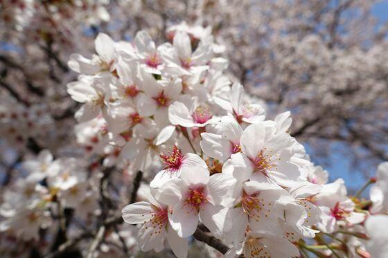 神代植物公園 桜 開花状況