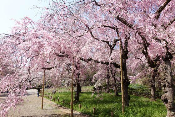 神代植物公園 しだれ桜