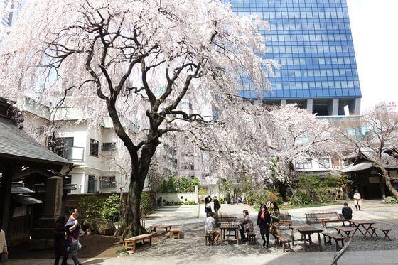 新宿 しだれ桜