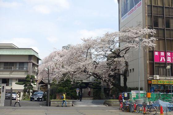 常圓寺 しだれ桜
