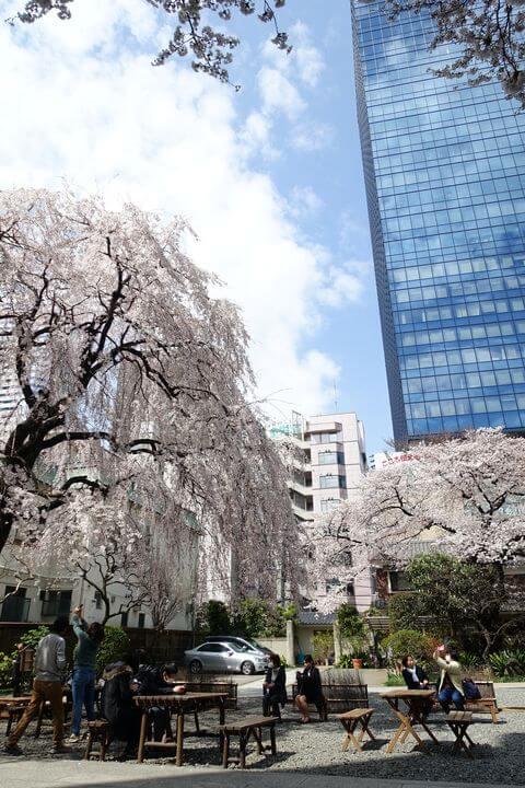 常圓寺 新宿 しだれ桜
