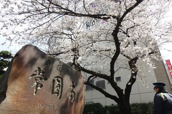 常圓寺 枝垂れ桜