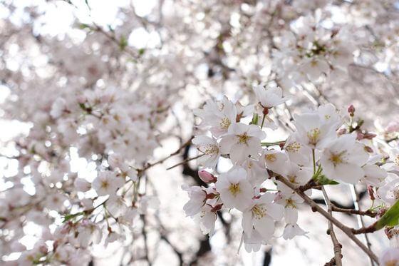 常圓寺 桜 開花状況