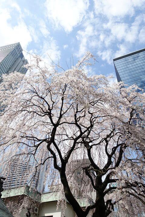 新宿 常圓寺 しだれ桜