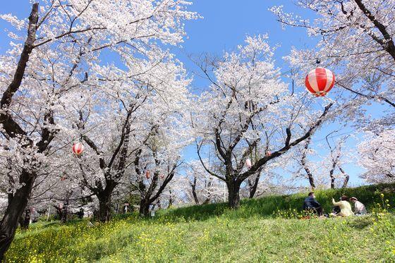 城ヶ谷堤 お花見