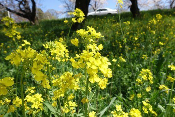 城ヶ谷堤 菜の花