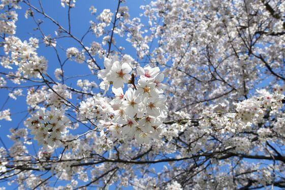 城ヶ谷堤 桜 開花状況