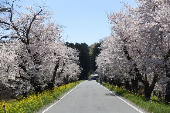城ヶ谷堤 桜 見頃