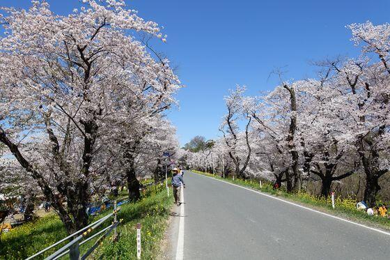 城ヶ谷堤 桜並木