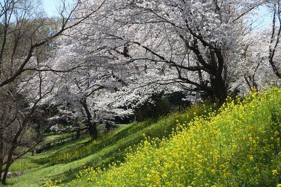 北本 桜土手