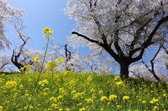 北本市 桜土手