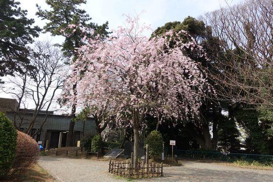 掃部山公園 しだれ桜