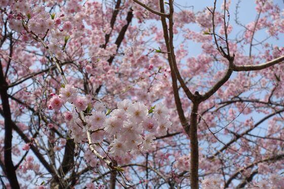 掃部山公園 桜 開花状況