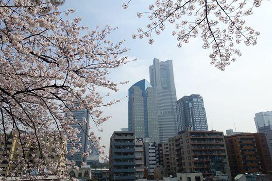 掃部山公園 桜 ライトアップ