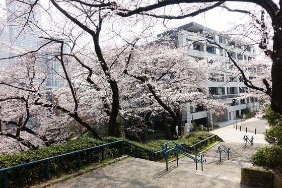 桜木町 掃部山公園 桜