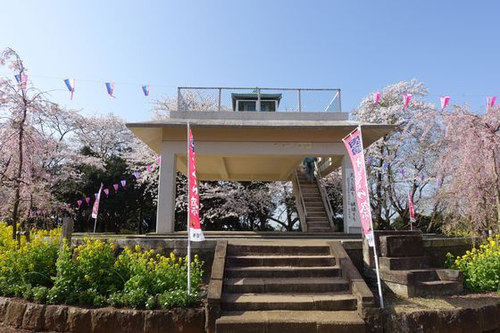 衣笠山公園 花見