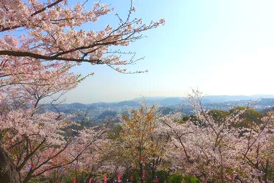横須賀 衣笠山公園 桜