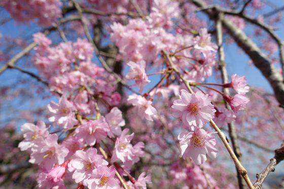 衣笠山公園 枝垂れ桜