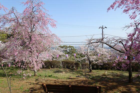 衣笠山公園 しだれ桜
