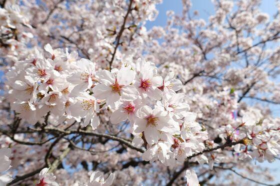 衣笠山公園 桜 開花状況
