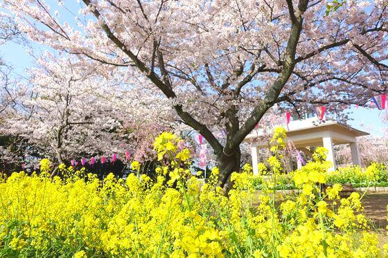 横須賀 衣笠山公園 菜の花